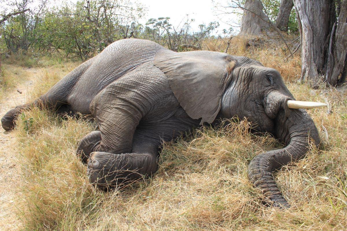 elefantes-morto