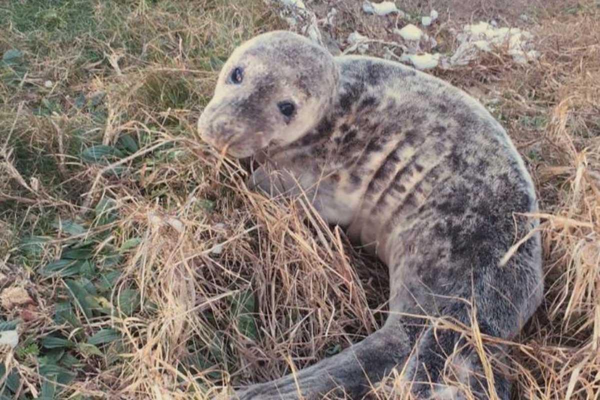 filhote de foca
