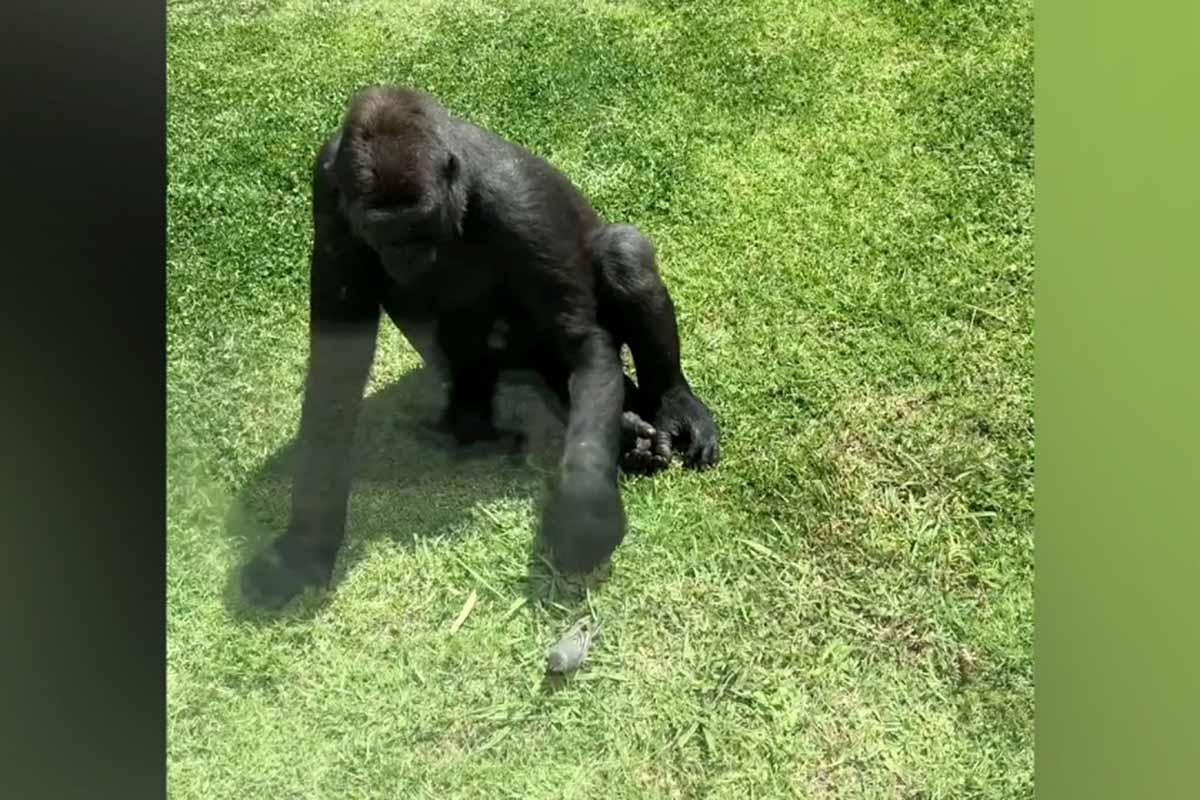 gorila-passaro
