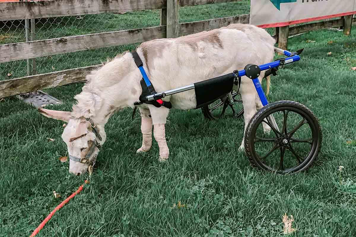 burro-cadeira-rodas