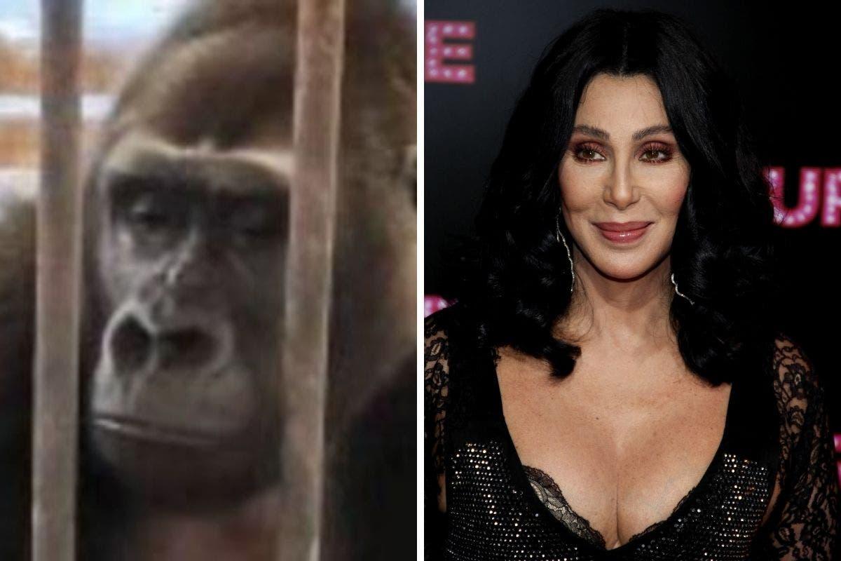 cher-gorilla