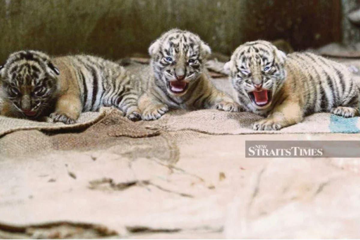 tigre-malesia