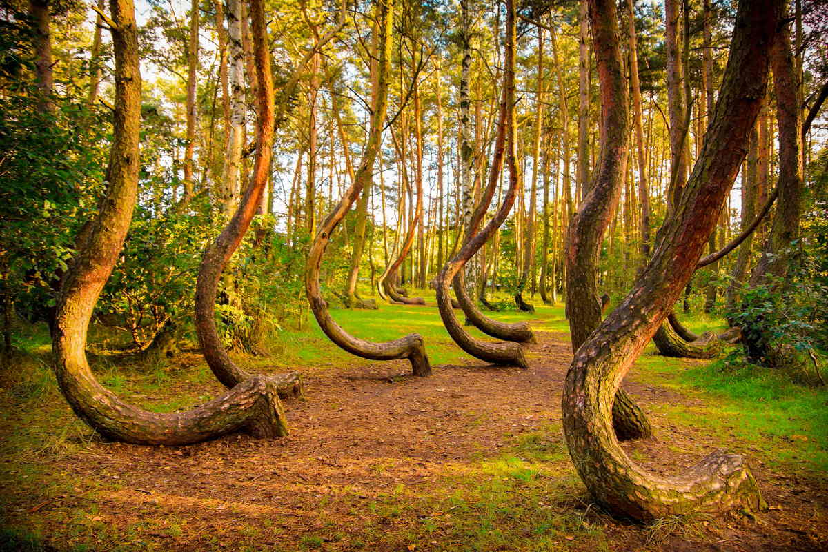 crooked-forest