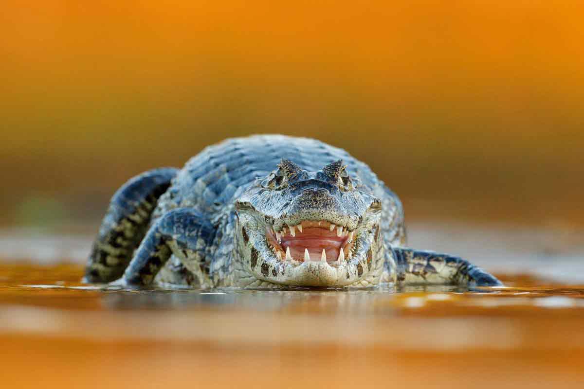 crocodrillo