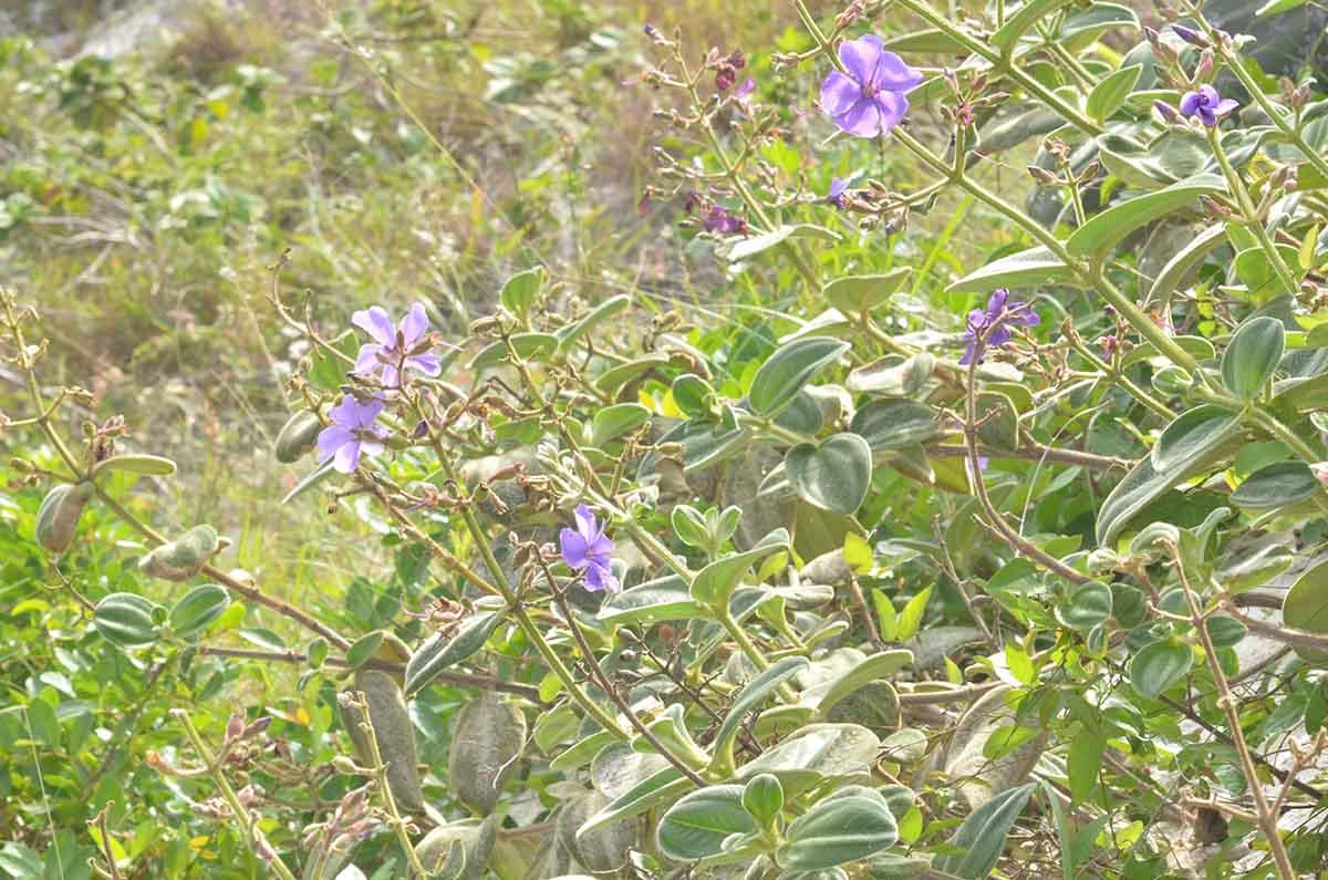 flor-brasil