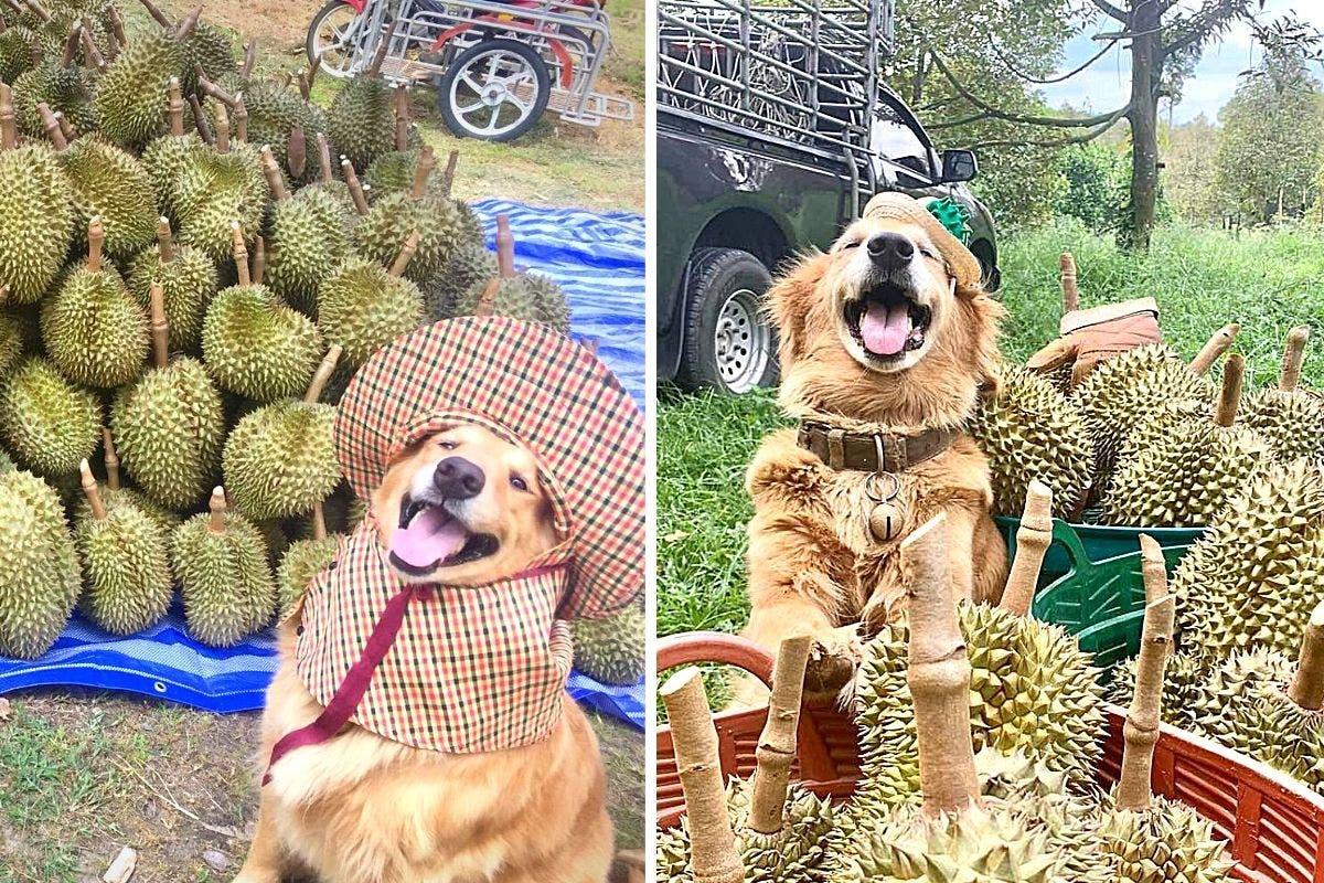 golden-retriever-durian