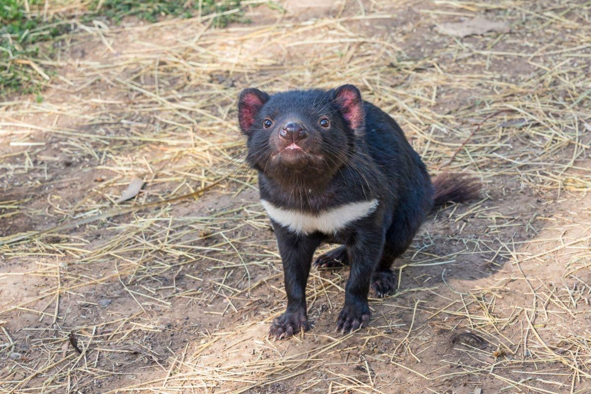 diabol-tasmania