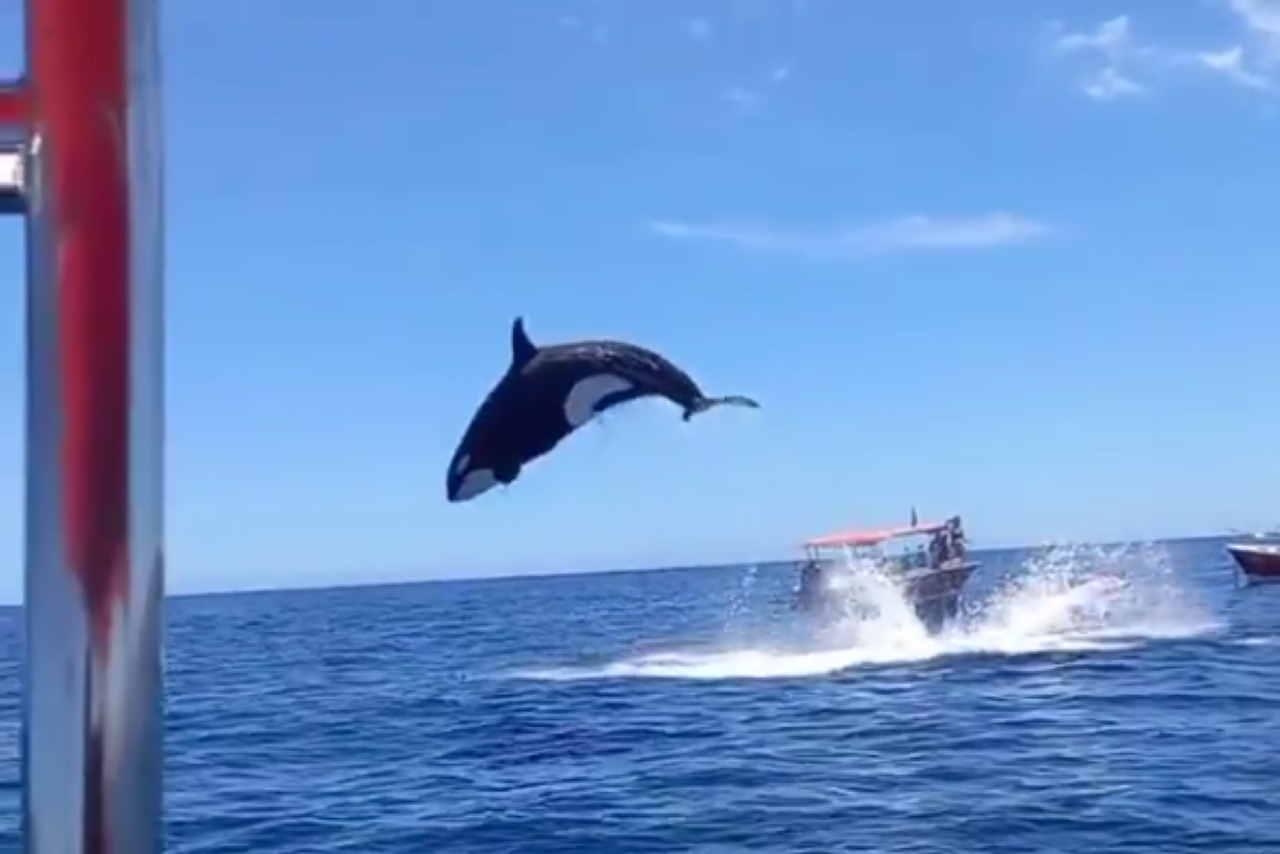 orca-golphinho