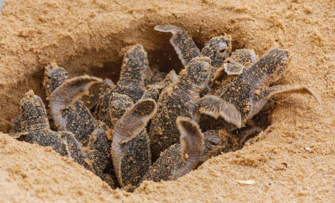 tartarugas-femeas