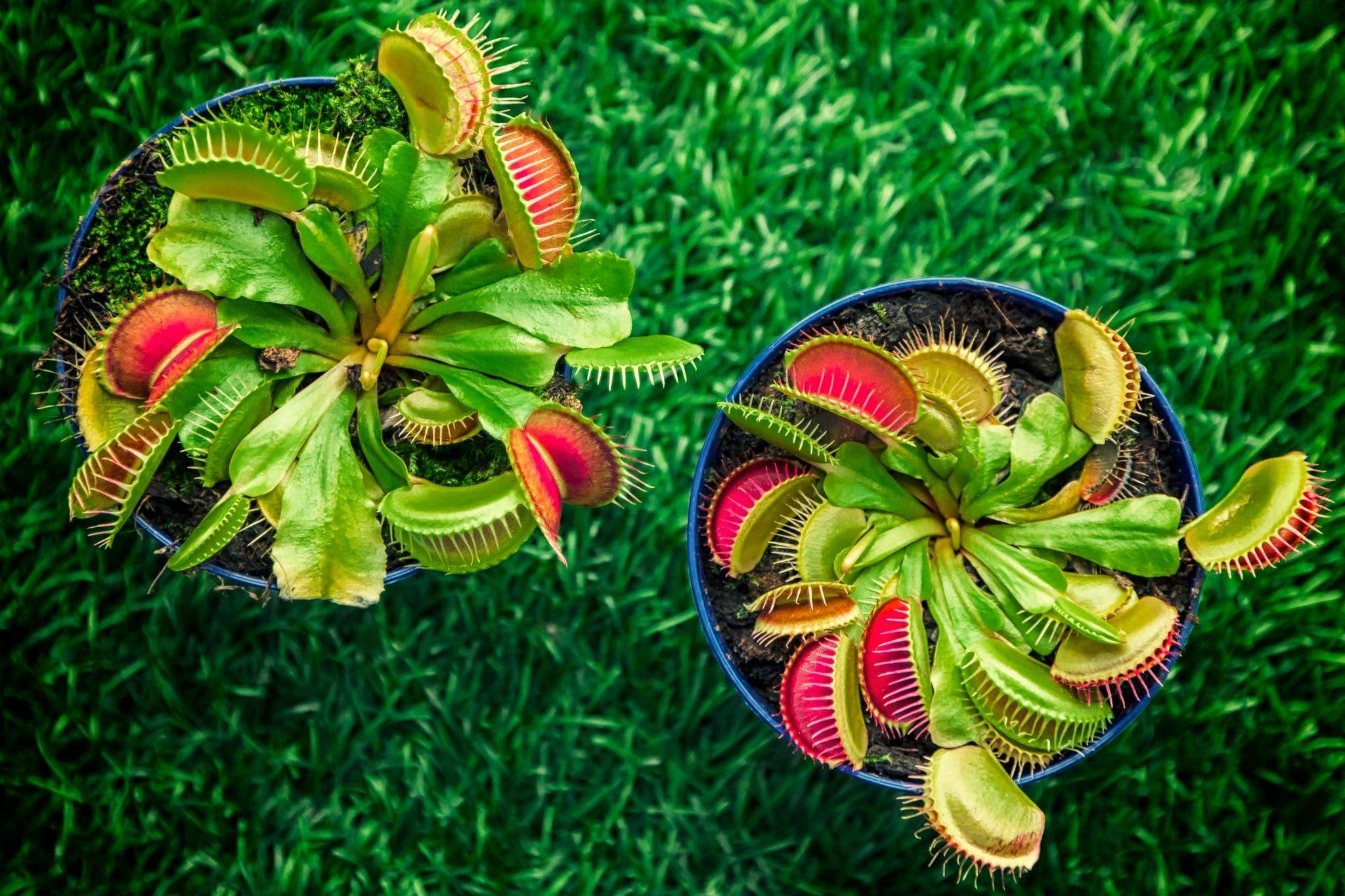 venere-planta-carnivora