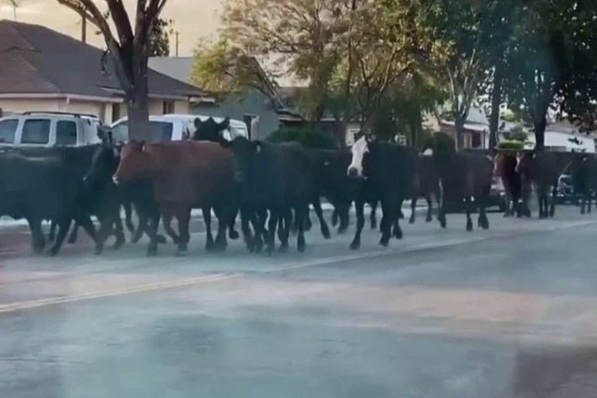 cows-pico-rivera