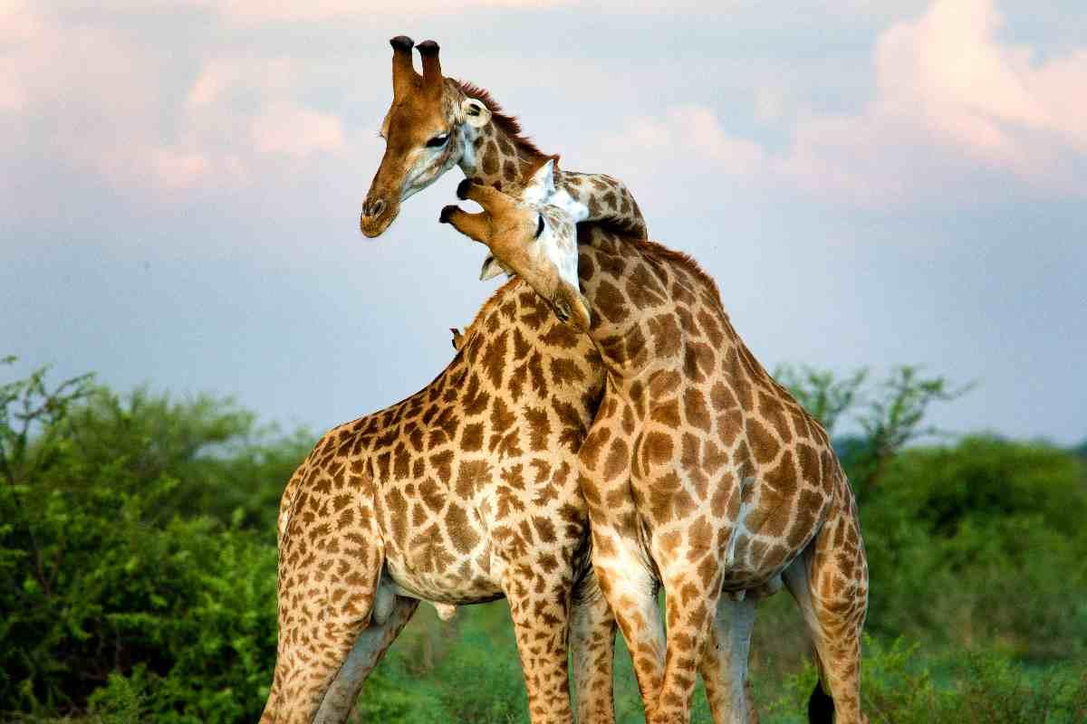 dia mundial girafa