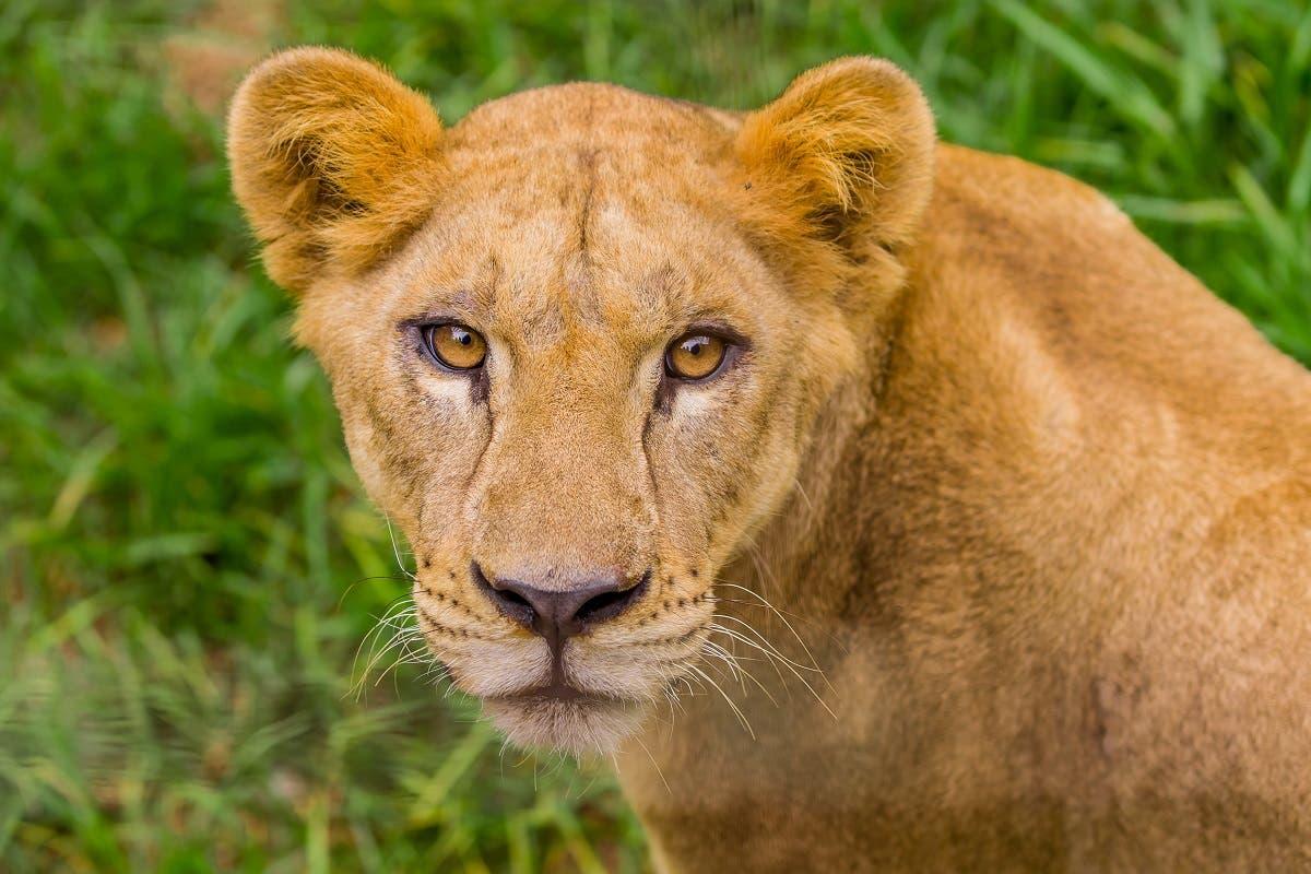 leoes-morte