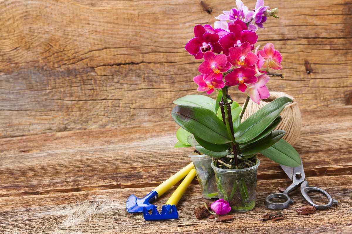 orquidea como plantar