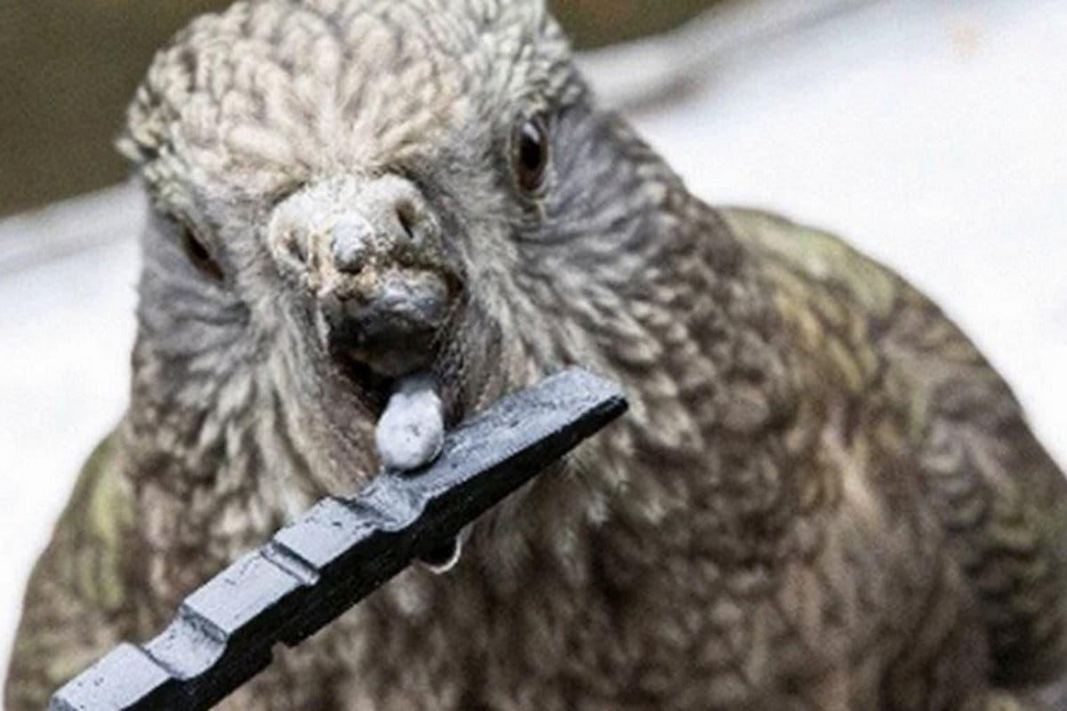 Papagaio deficiente