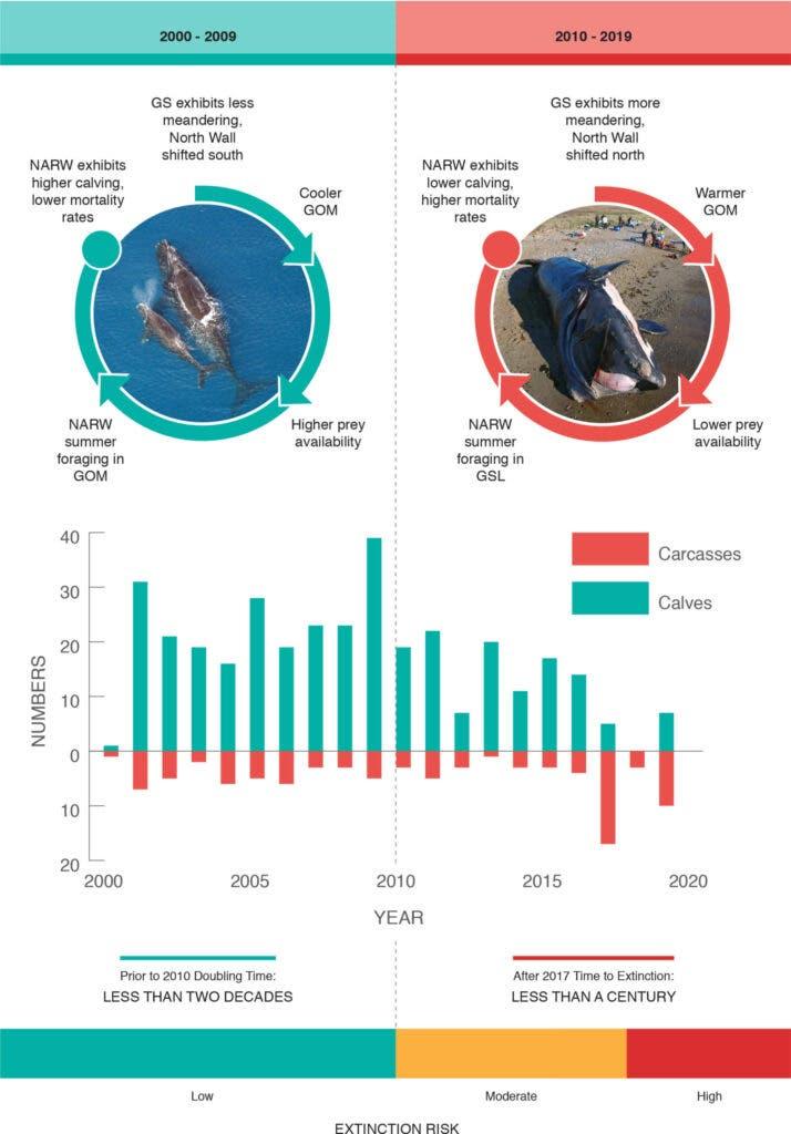 balene-franche-morte