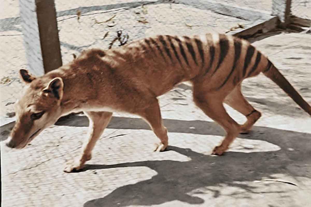 tigre della tasmania video a colori
