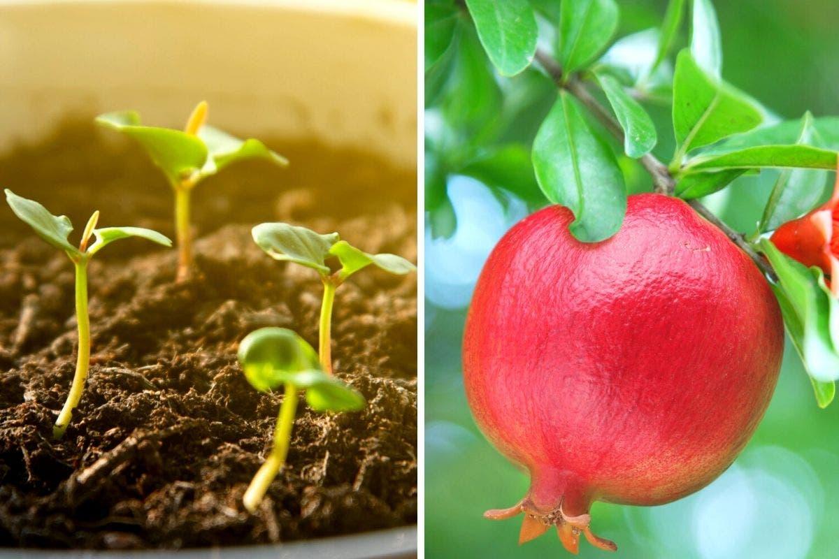 sementes roma